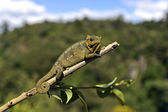 African Chameleon — Stock Photo