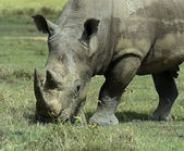 White rhino — Stock Photo