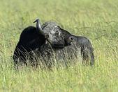 Buffaloes — Stock Photo