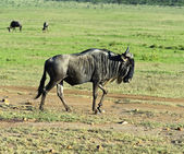 Wildebeest — Foto de Stock