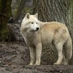 Polar wolf in its natural habitat — Stock Photo #46172189