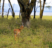 Afrikanskfy Gazelle Impala — Stock Photo