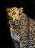 Portrait of leopard in its natural habitat — Stok fotoğraf