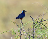 Starling in Kenya — Foto de Stock