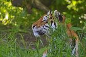 Amur Tiger — Stockfoto