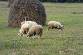 Herd of sheeps — Stock fotografie