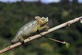 African Chameleon — Stock Photo