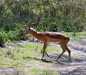 Gazelle Impala — Stock Photo