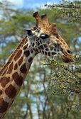 Giraffa nel parco — Foto Stock