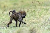 Baboons — Stock Photo