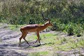 Afrikanskfy Gazelle Impala — Stock Photo