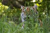 Amur Tiger — Stock Photo