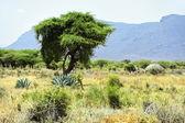 African tree — Stock Photo