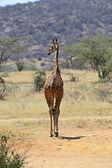 African Giraffe — Stock Photo