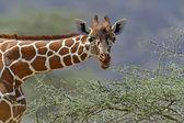 アフリカのキリン — ストック写真