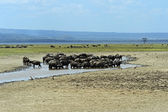 Buffalos  in Lake Nakuru National Park — Stock Photo