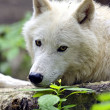 Polarwolf — Stockfoto #48430197