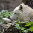 Polarwolf — Stockfoto #48430207