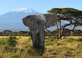 Kilimanjaro elephant — Stock Photo