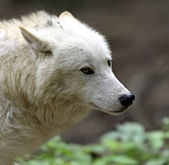 Arctic Wolf — Stock Photo