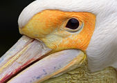European white pelican — Foto Stock