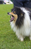 Portrait Collie — Stockfoto