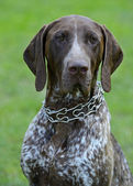 German Shorthaired Pointer dogs — Stockfoto
