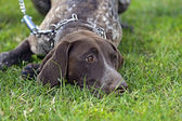 German Shorthaired Pointer dogs — Stock Photo