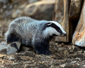 Badgers in their natural habitat — Stock Photo