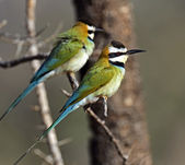 European bee-eater — Foto de Stock