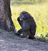 Baboons in natural habitat — Foto de Stock
