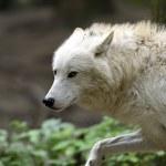arktický Vlk — Stock fotografie