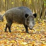 Wild boar — Stock Photo #49211867
