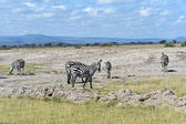 Zebra in African savannah — Foto de Stock
