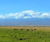 Blue wildebeests — Stock Photo