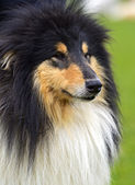 Portrait Collie — Foto de Stock