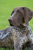 German Shorthaired Pointer dogs — 图库照片