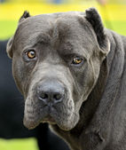 Cane Corso  — Stock Photo