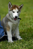 Husky at dog show — Foto de Stock