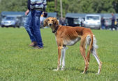 Greyhound at dog show — Stock Photo