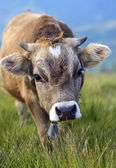 Carpathian cow — Stock Photo