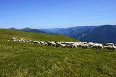 Herd of Sheep — Stock Photo