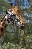 Girafa — Fotografia Stock
