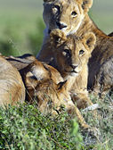 Lions Masai Mara — Stock Photo