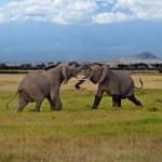 ������, ������: Kilimanjaro elephants