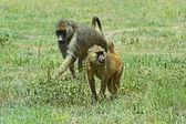 Baboons — Stock Photo
