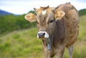 Los cárpatos vaca — Foto de Stock
