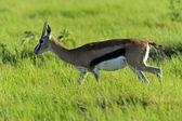 Udzielić Gazela — Zdjęcie stockowe