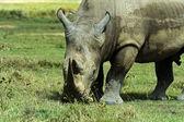 White rhino — Stock Photo