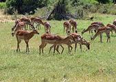 Impala gazelle — Stock Photo